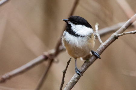 Wildlife Fauna Small Tiny Bird Birds Black Capped Chickadee on natural branch perch Stock Photo