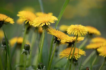 Flora Flowers Yellow Field Garden Dandelions Natural Perennial Weed Stock Photo
