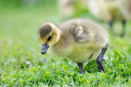 Fauna Birds Canadian Migrant Young Juvenile Canada Goose Geese Stock Photo