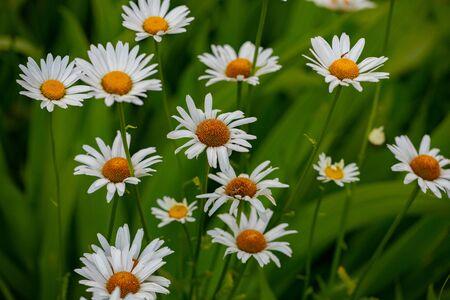 Flora Collection Group White Orange Shasta Daisy Daisies