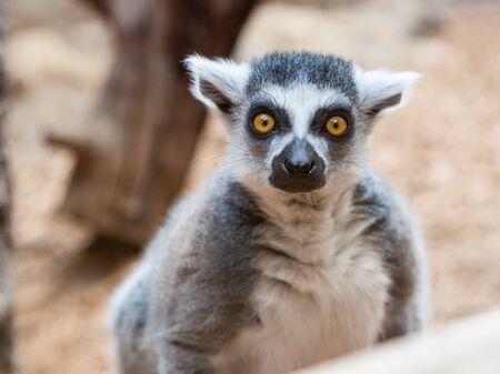 Mammals Primates Grey Ring Tailed Lemur Face Closeup