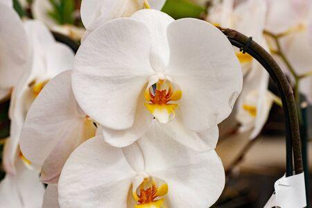Flora Flowers White Phalaenopsis Orchid Pair Closeup Stock Photo