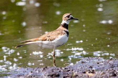 Fauna Birds Shorebirds Plover Killdeer Charadrius Vociferus Pond Background