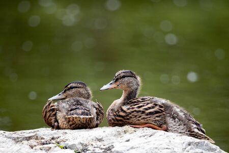 Fauna Birds Migratory Mallard Duck Pair Resting Pond Background