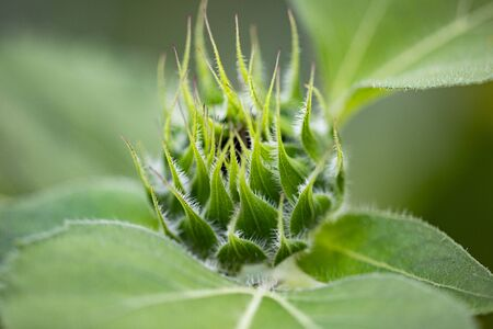 Detailed Green Summer Sunflowers Buds in the Front Garden Stock Photo