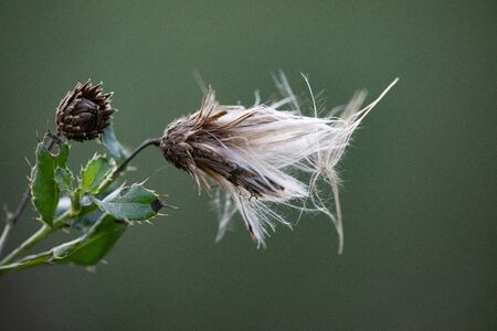 Canada Creeping Thistle Gone to Seed Isolated on Natural Green Background in Autumn