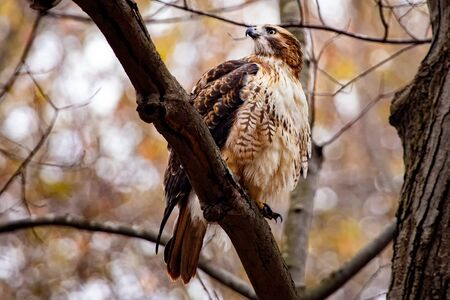 Adult Red Tailed Hawk Perched High After Eating Squirrel