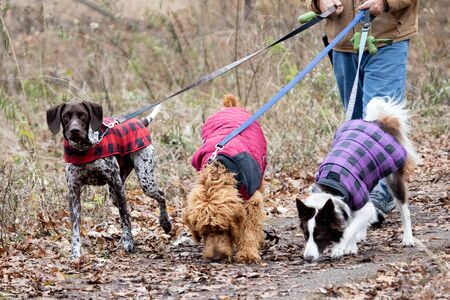 Three Dogs Walked By Handler in Daylight at Local Park