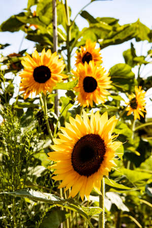 Colourful Yellow and Orange Summer Sunflowers on Sunny Afternoon