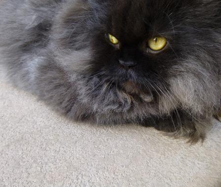 himalayan cat: Black Persian Cat Stock Photo
