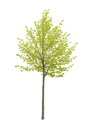 Young tree isolated on a white background photo