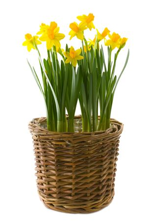 Yellow narcissuses over white background Stock Photo