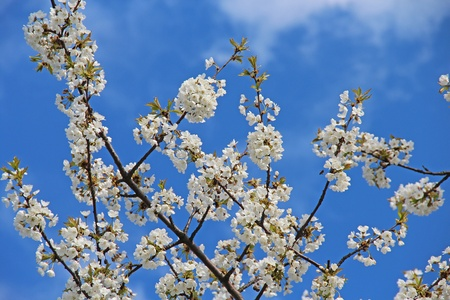 Blooming cherry blossoms on a blue background Stock Photo - 13697200