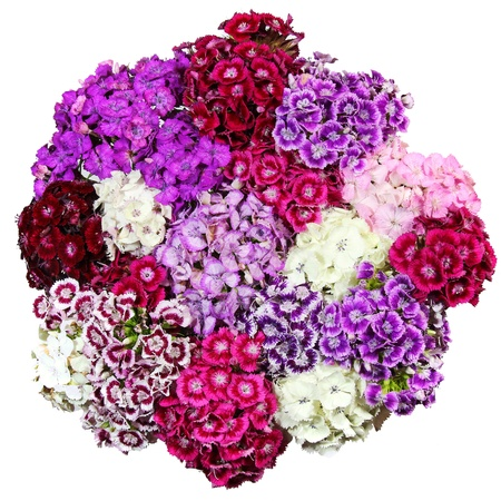 Bouquet of flowers colored Chinese Carnation photo
