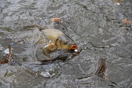 Hungry carp to the water photo