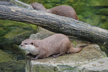 furred: Small otter resting on stone Stock Photo