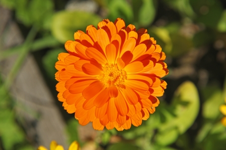 Marigold flower on a sunny day Stock Photo - 15844964