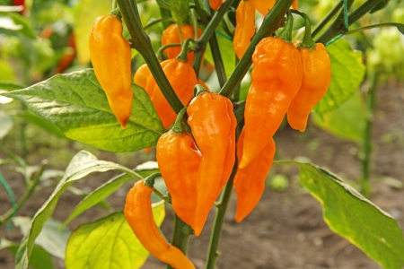 bush pepper: Ripened yellow chili peppers on the plant fatalii Stock Photo