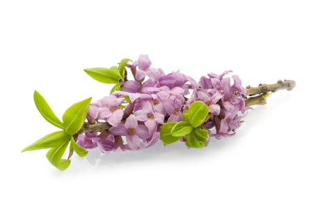 Daphne mezereum on a white background Stock Photo - 19136725