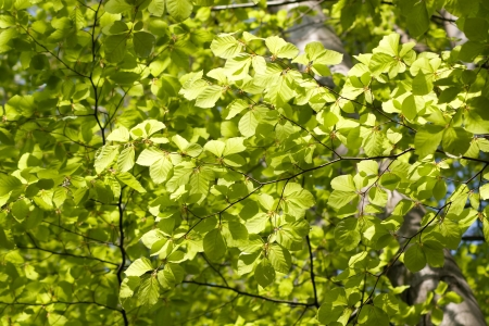 young beech leaves as a background