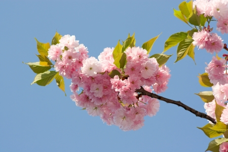 branch with cherry flowers in the sky Stock Photo