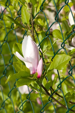 magnolia flower growing through the fence Stock Photo