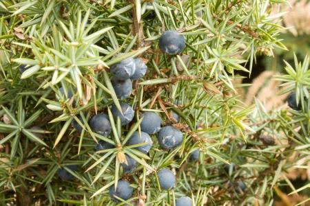 Juniper fruit in the natural environment Stock Photo