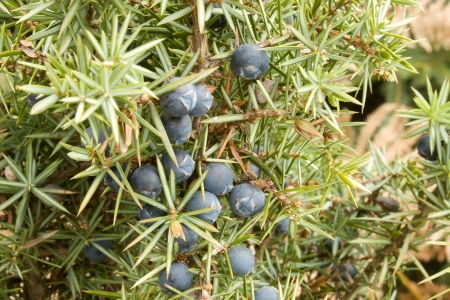 Juniper fruit in the natural environment Stock Photo