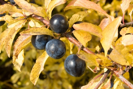 blue sloe berries in autumn Stock Photo