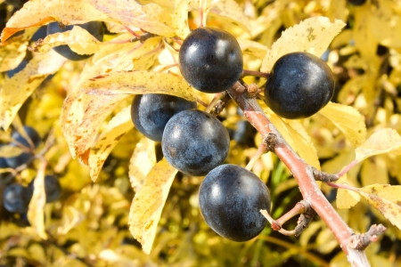 blue sloe berries in autumn Stock Photo