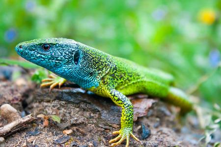 Green Lizard (Lacerta viridis) in their  habitat photo
