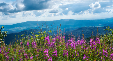 Mountain landscape with willow-herb, Carpathians, Ukraine photo