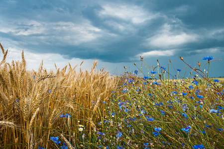 Field with wheat and cornflower before storm photo