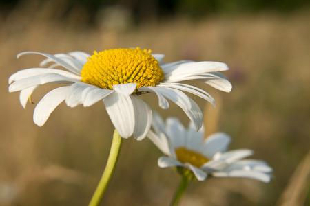 Close-up oxeye daisy photo