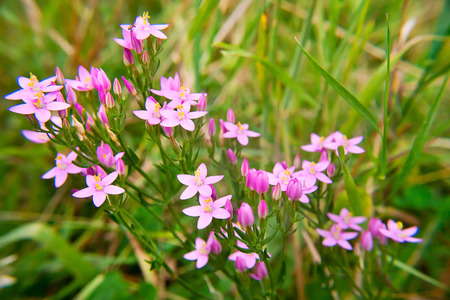 inflorescence: Pink  inflorescence of Common centaury ( gentian) Stock Photo