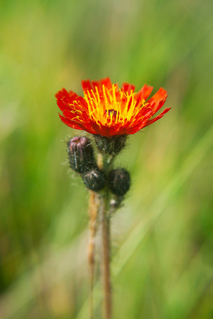 hawkweed: Blossoming Orange Hawkweed Stock Photo