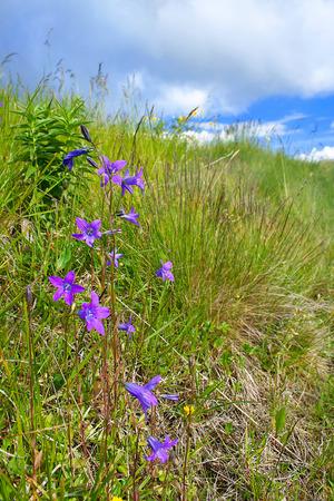 patula: Spreading bellflower (Campanula patula) blooming in the green meadow