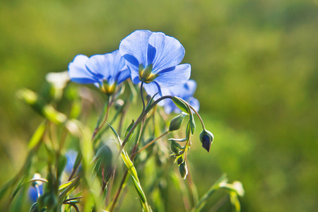 Linum (Linum austriacum)  blooming in the green meadow
