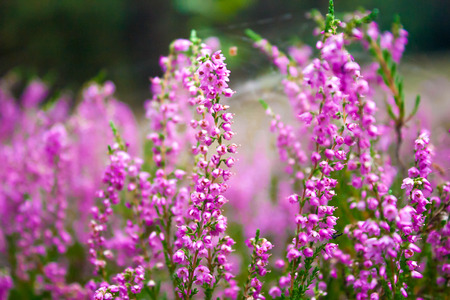 Vibrant pink common heather (Calluna vulgaris) blossoming outdoors