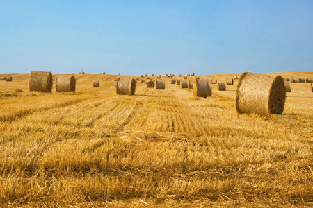 harvest field: Harvested field with straw bales and clear blue sky. Summer landscape