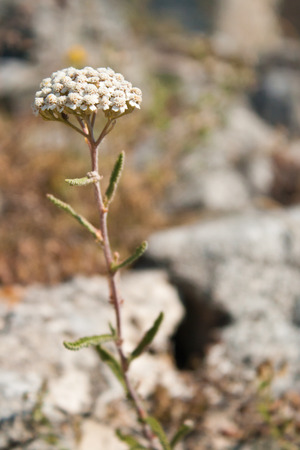 abloom: Common yarrow Achillea millefolium, a flowering plant in the family Asteraceae Stock Photo