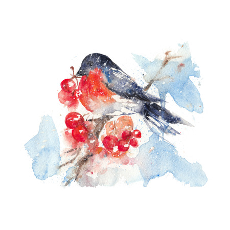 guelder rose: Watercolor bullfinch and ashberry isolated in a white background.
