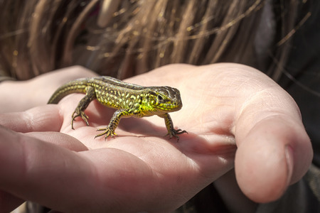 descriptive colors: beautiful green lizard basking in the hand