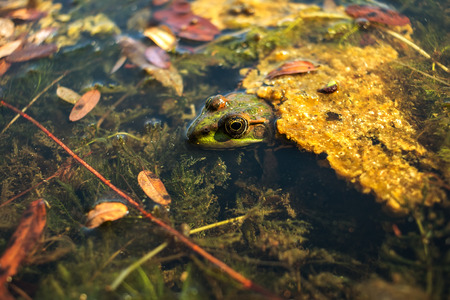 webbed foot: Frog with a camouflage color in the lake among the seaweed looks