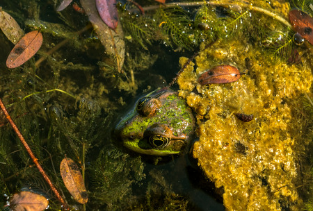 arboreal frog: Frog with a camouflage color in the lake among the seaweed,  looks
