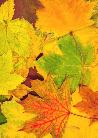 colorful autumn maple leaves. autumn card