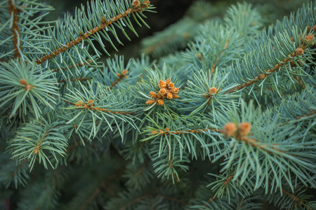 picea: Blue spruce branches on a textured background. Blue spruce, green spruce.