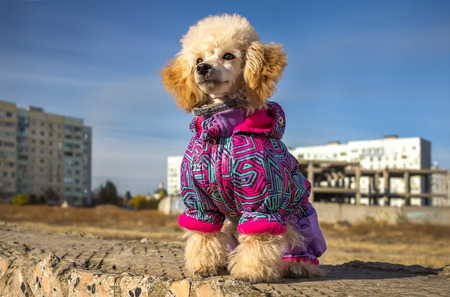 funny puppy of a poodle in a suit against the backdrop of urban architecture Foto de archivo