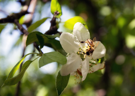 pollinate: bee on a flower collects honey apple tree,  pollinate apple blossom