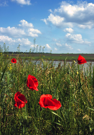 summer heat: Wild poppies in a field on a background of the summer clouds